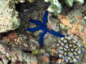 Starfish such as this can be seen regularly in shallow areas scattered accross the reef!